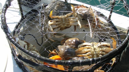 Dungeness crab season delayed because meat could contain deadly neurotoxin. www.businessmanagement.news