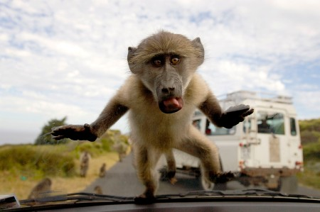 Baboons Escape Texas Research Center and Invade Town. www.businessmanagement.news