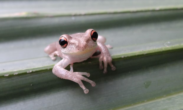 Cuban Treefrogs Invade New Orleans: Why this really matters. www.businessmanagement.news