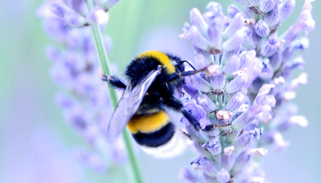 Bumblebees Are Dying... and that's really bad. www.businessmanagement.news